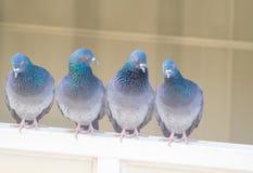 对窗口的家鸽行动 免版税库存照片