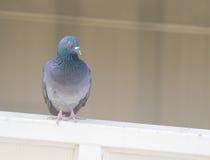 对窗口的家鸽行动 图库摄影