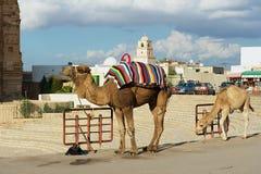 对站立在入口旁边的骆驼的看法对杰姆圆形剧场在杰姆,突尼斯 免版税库存照片