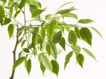 对结构树的接近的榕属 免版税图库摄影