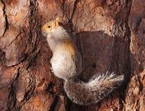 对结构树的紧贴的灰色灰鼠 免版税库存照片