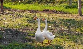 对美丽的白色鹅夫妇的特写镜头  库存照片