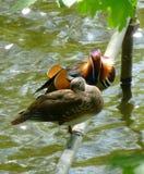对美丽的鸳鸯坐在水上表面的金属管  库存图片