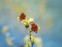 对美丽的蝴蝶在春天机智收集花蜜 库存照片
