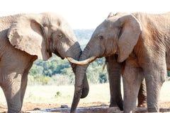 绝对美丽-非洲人布什大象 免版税库存照片