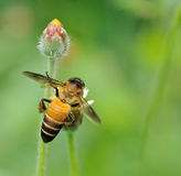 对花的蜂蜜蜂和收集花蜜 免版税库存图片