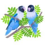 对蓝色被掩没的爱情鸟 免版税库存图片