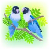 对蓝色被掩没的爱情鸟 图库摄影