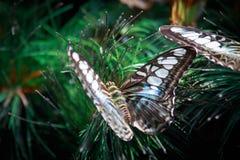 对蓝色蝴蝶的O ` de 库存图片