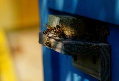 对蜂房的蜂运载的花粉 图库摄影
