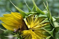 对蜂的向日葵 免版税图库摄影