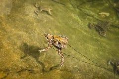 对蟾蜍由鸡蛋导线连接了 库存图片