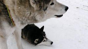 对西伯利亚爱斯基摩人狗 影视素材