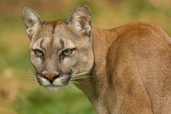 对视图的美洲狮轮 免版税图库摄影
