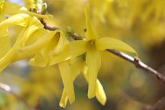 对角复活节树连翘属植物分支 免版税库存图片