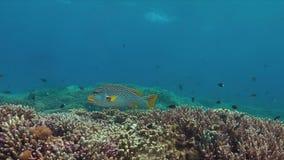 对角线在珊瑚礁的被结合的sweetlip 4K 股票视频