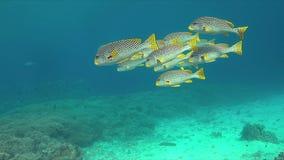 对角线在珊瑚礁的被结合的sweetlips 4K 股票视频