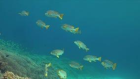 对角线在珊瑚礁的被结合的sweetlips 4K 股票录像