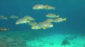 对角线在珊瑚礁的被结合的sweetlips 4K 影视素材