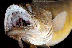 对角膜白斑的gamefish矛准备好的罢工 库存图片