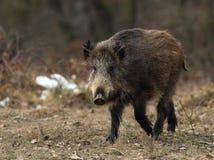 对通配年轻人的公猪表面 免版税库存照片