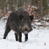 对通配的2头公猪表面 免版税图库摄影