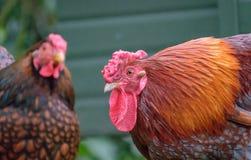 对那里Wyandotte鸡看的外部如在庭院设置中看到用木材建造被建立的夫妇, 免版税库存图片