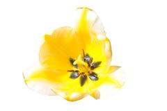 3对郁金香您版本的黄色的空的查出的空间文本 免版税库存图片