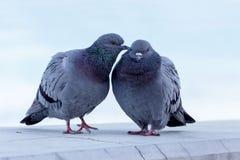 对野生鸽子 库存照片