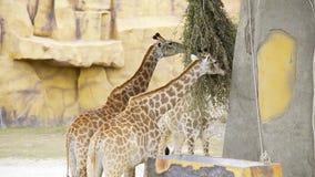对长颈鹿在动物园吃绿色分支,动物在徒步旅行队公园,与他们的高脖子的长颈鹿在 股票录像