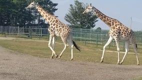 对长颈鹿 库存图片