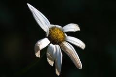 对雏菊花的天旱损伤 库存图片