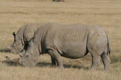 对非洲白色犀牛,正方形有嘴犀牛,纳库鲁湖,肯尼亚 库存图片