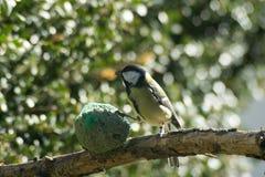 对饲槽的伟大的山雀吃, 免版税库存图片