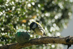 对饲槽的伟大的山雀吃, 免版税库存照片