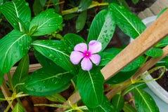 对马达加斯加荔枝螺长春蔓老处女卡宴茉莉花罗斯荔枝螺长春花属Roseus G的特写镜头 穿上 / 夹竹桃科 库存照片