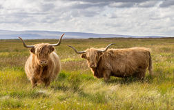 对高地牛 库存图片