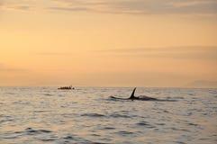 对鲸鱼的小船凶手下日落游泳tim 图库摄影