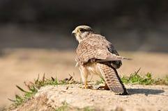 对鸟猎人的恐惧 库存图片