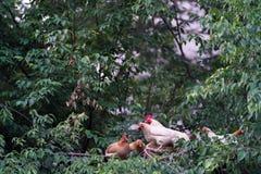 对鸡的飞行在树 库存照片