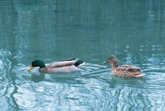 对鸭子在池塘 库存照片