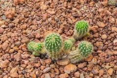对婴孩Echinopsis Calochlora仙人掌,多汁和干旱的厂的特写镜头 库存照片