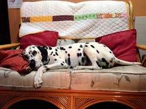对他自己的达尔马希亚享用的沙发 免版税库存照片