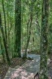 对1000年黄色木材树的足迹 免版税库存照片