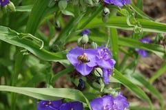 对紫色蜂蜜 在花1的蜂 免版税库存照片