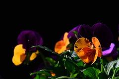 对蝴蝶花中提琴紫罗兰色花的杂种黄色三色在黑暗的背景 库存照片