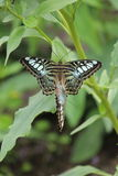 对蝴蝶 免版税图库摄影