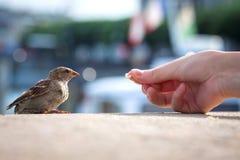 对年轻麻雀传球手domesticus的哺养的面包 库存照片