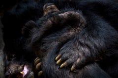 对figthing与爪的两只成人福摩萨黑熊的面孔的特写镜头 免版税库存照片