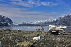 对Margerie的一张视图和与登陆的iceber的全部和平的冰川 免版税库存图片
